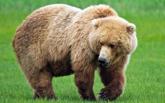 Медведи разные (40 обоев)