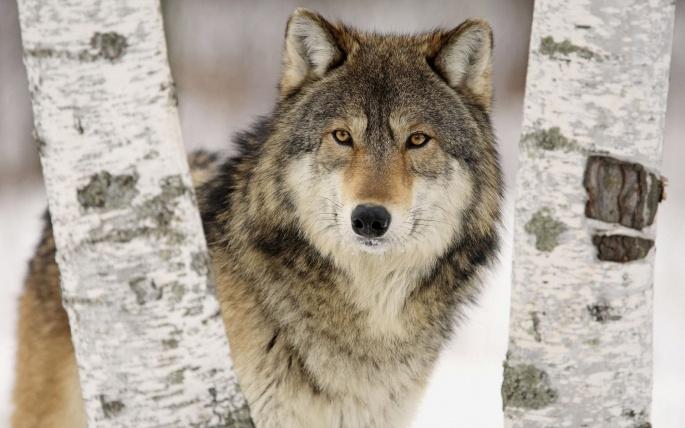 Волки 4 (80 обоев)