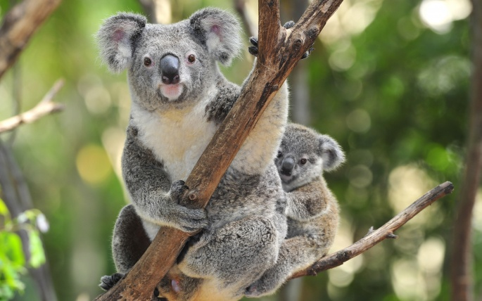 Cute koala bear wallpaper