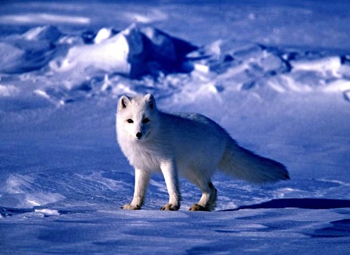 Арктика и ее жители (136 обоев)