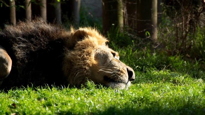 Лев (51 обоев)