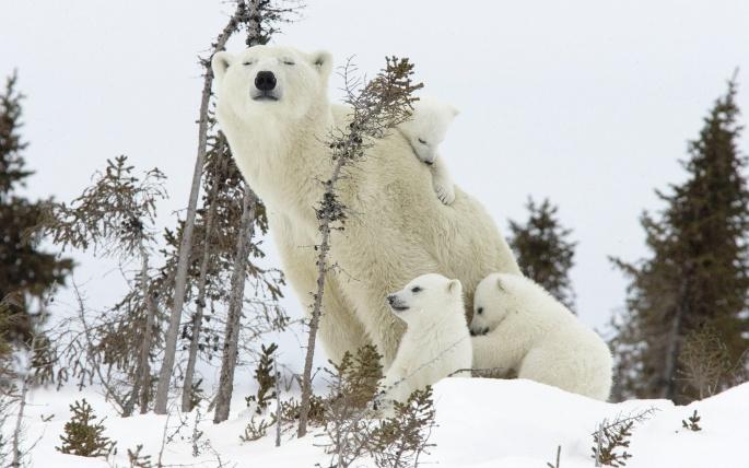 Медведи белые (80 обоев)