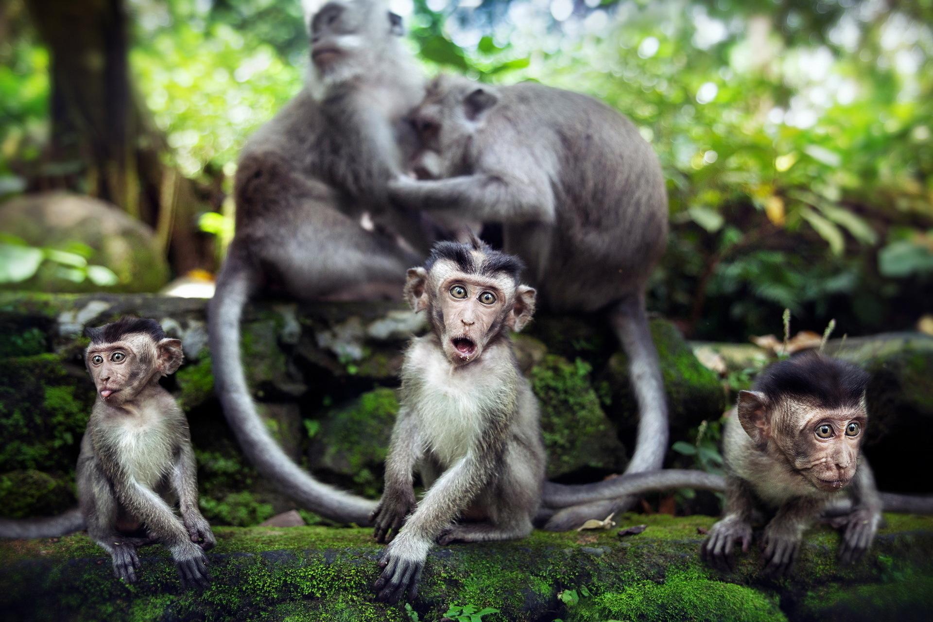 Обои на раб стол с обезьяной