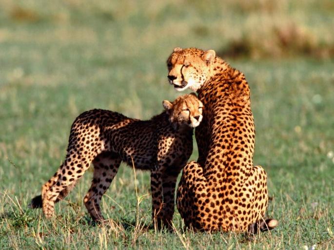 Гепарды (46 обоев)