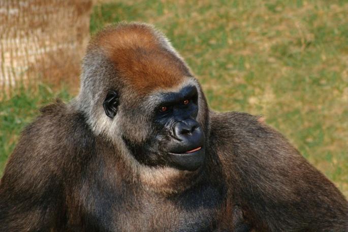Горилла и шимпанзе (61 обоев)