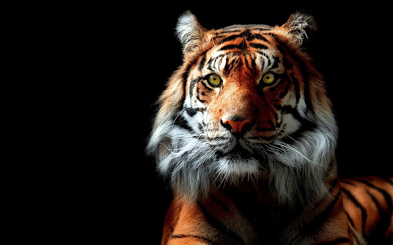 Tigers face wallpaper