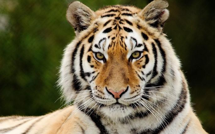 Тигры 3 (53 обоев)