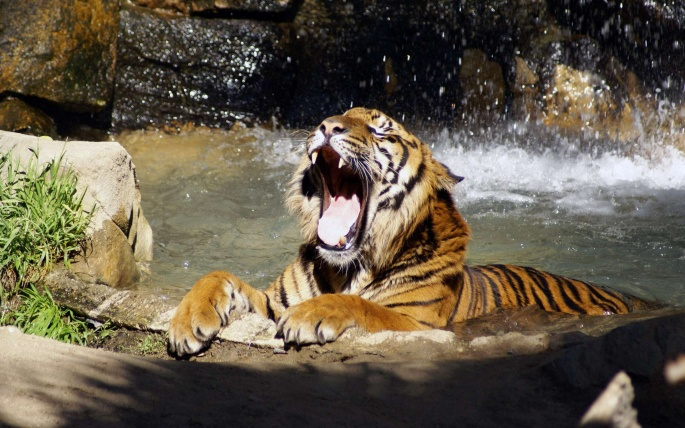 Тигры 6 (60 обоев)