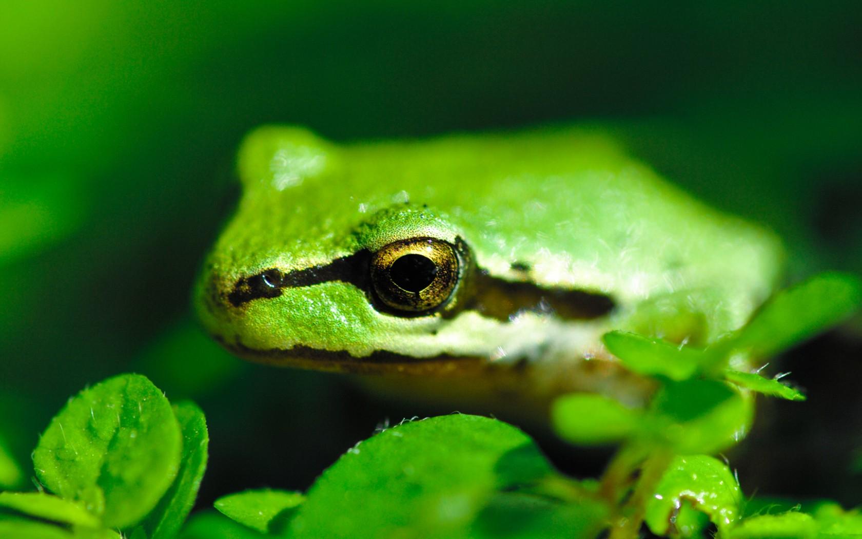 Обои для рабочего стола лягушка зеленая