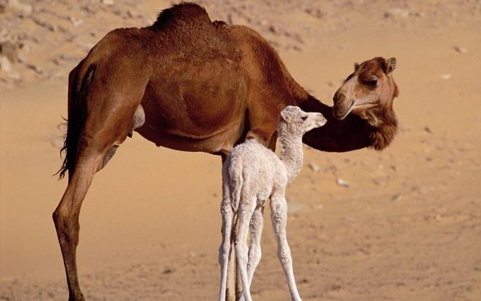 Верблюд и пустыня (60 обоев)