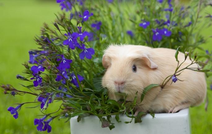 Кролик и свинка (81 обоев)
