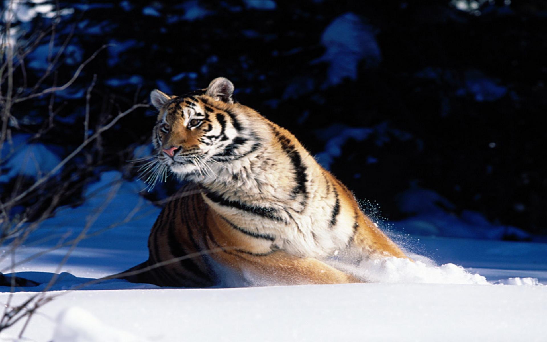 Angry siberian tiger wallpaper