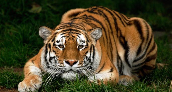 Тигры (45 обоев)