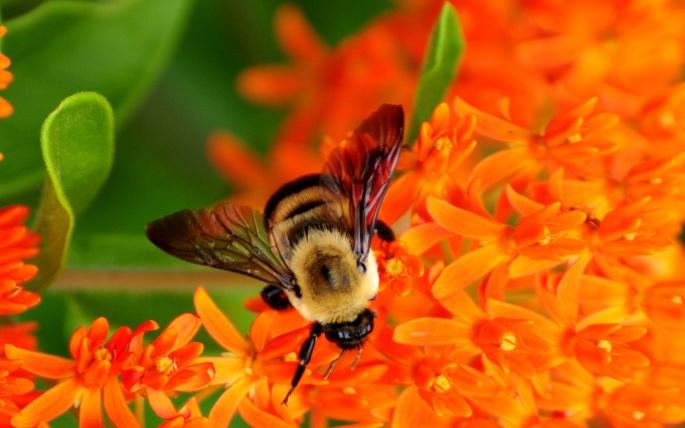 Пчелы (71 обоев)