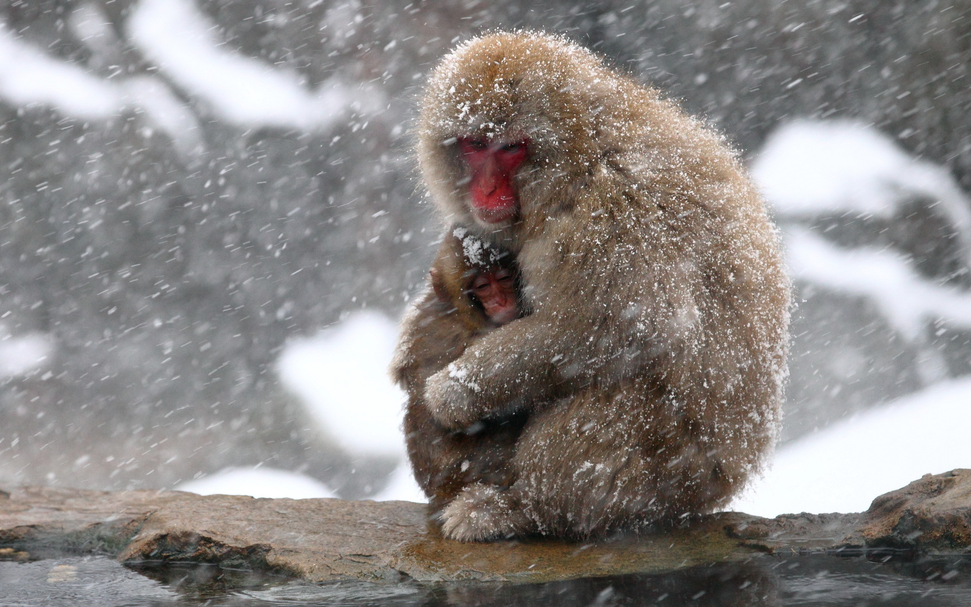 Japanese macaque wallpaper