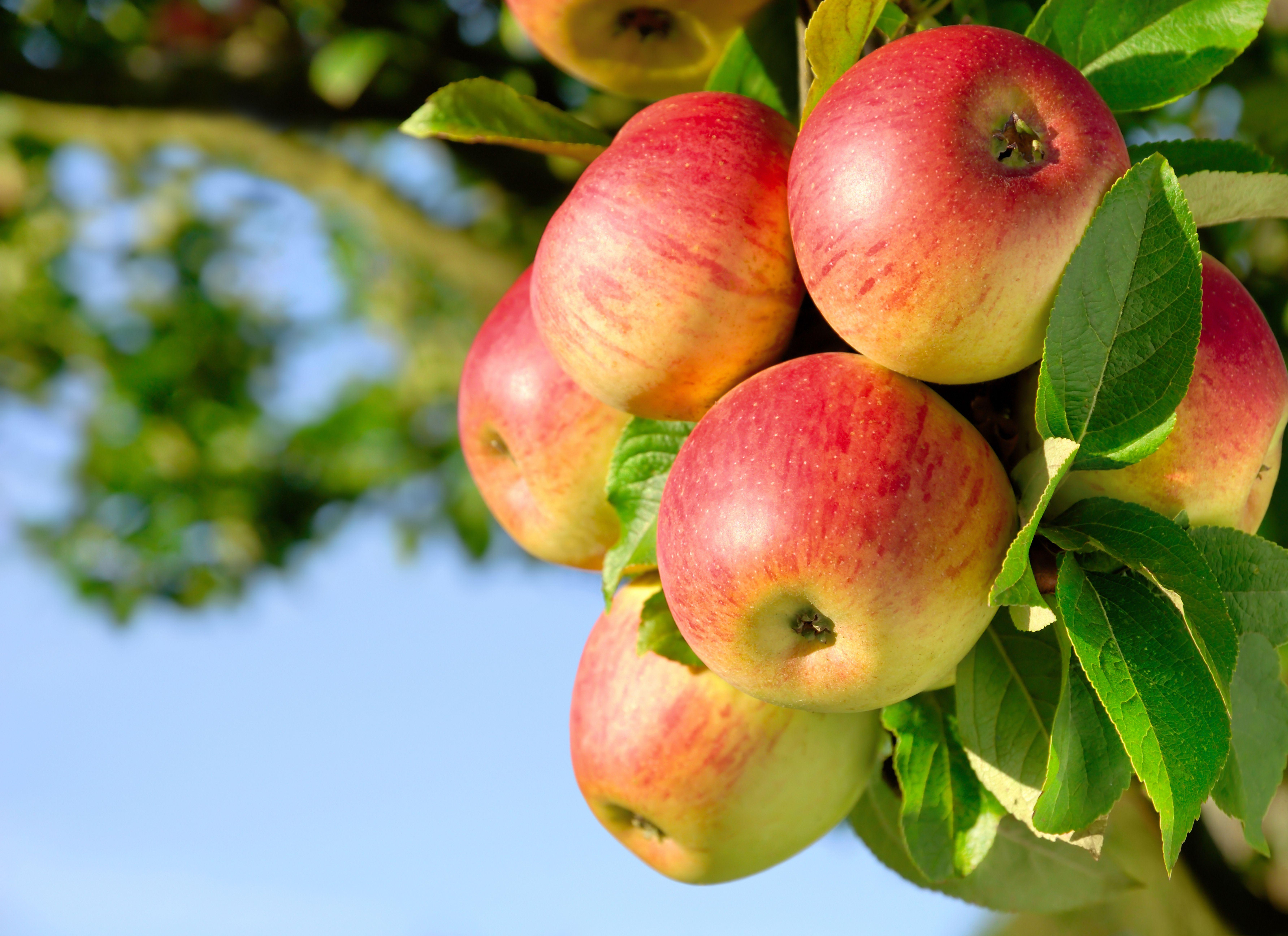 Яблоки - Apple 2 (70 обоев) » Смотри Красивые Обои ...