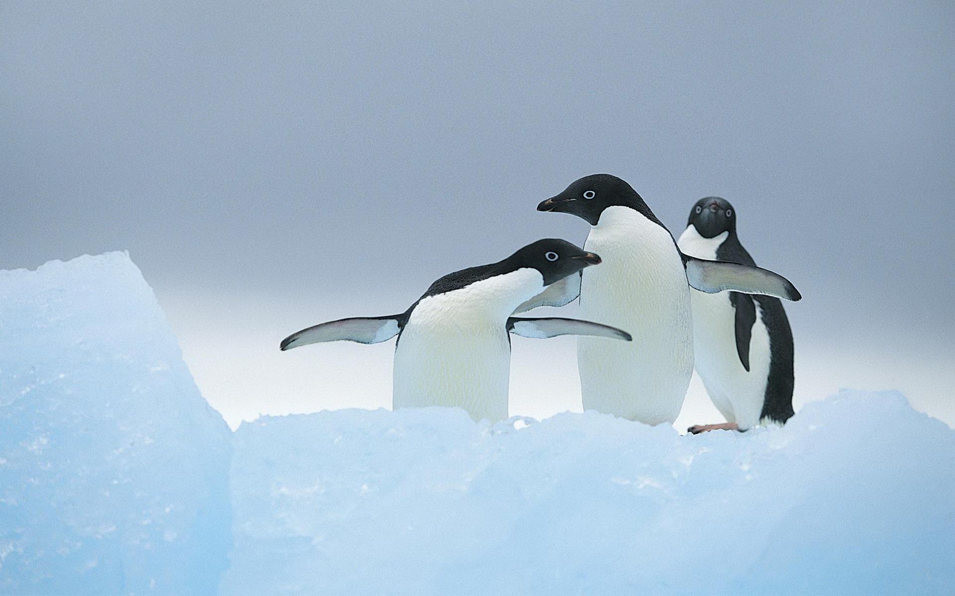 как обои на рабочий стол пингвины на льдине бывают