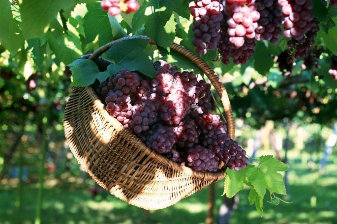 Виноград - Grapes 2 (55 обоев)