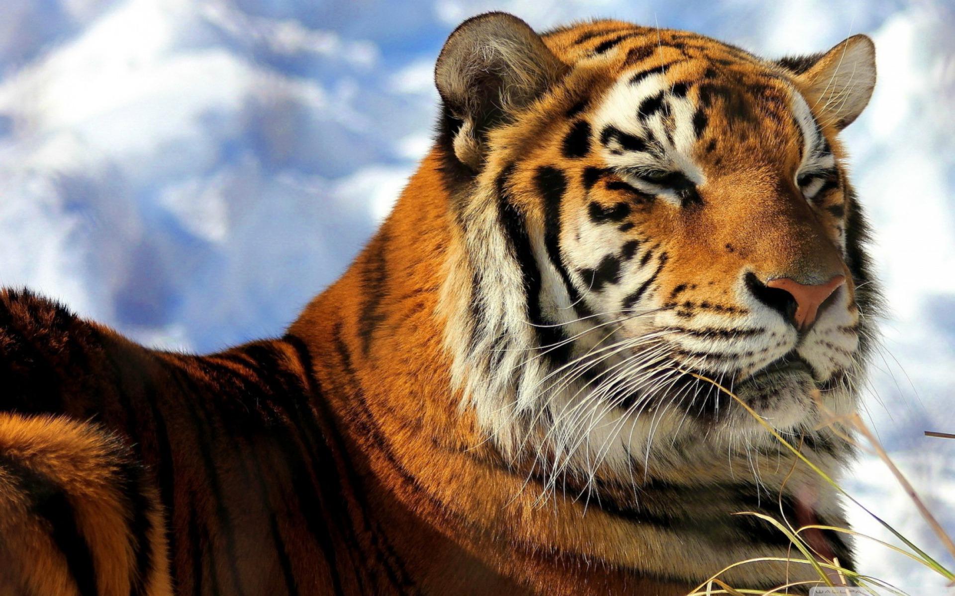 Картинки тигры рабочий стол