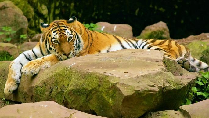Тигры 2 (50 обоев)