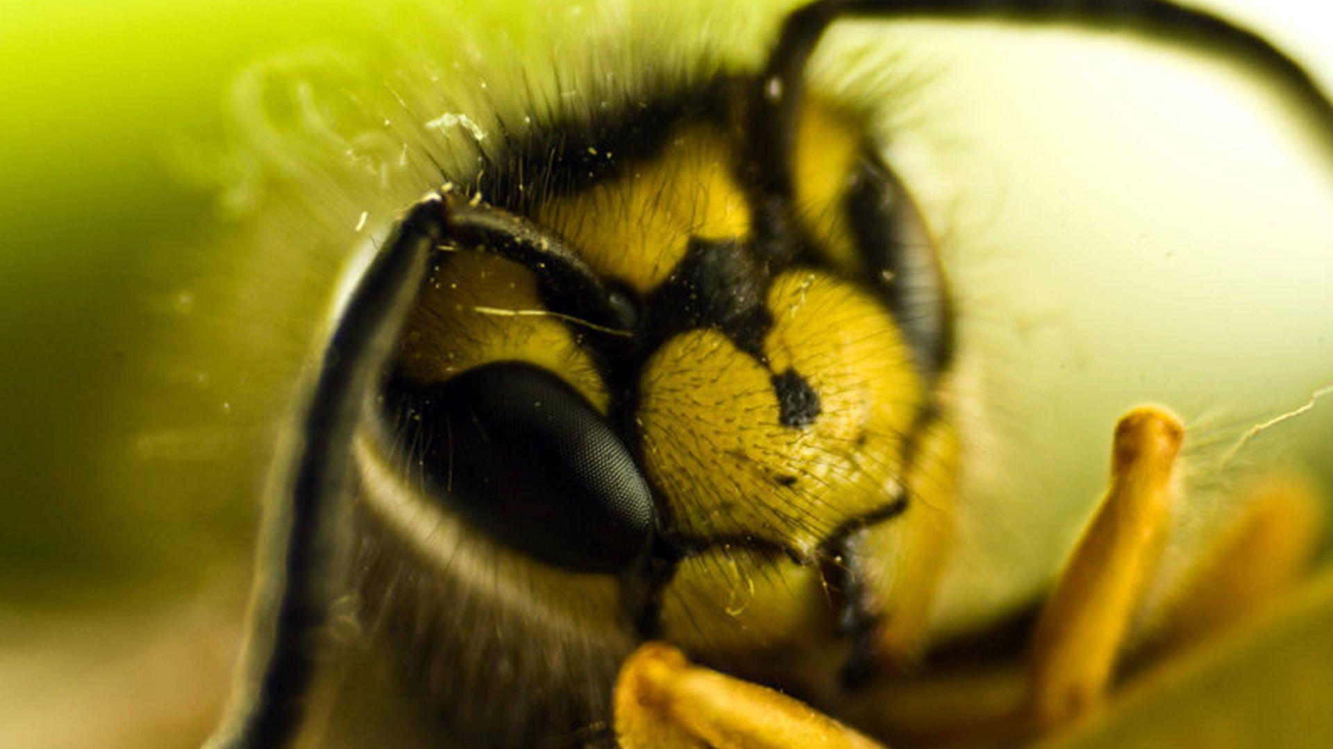 пчела картинки на рабочий стол отстаиваются, время