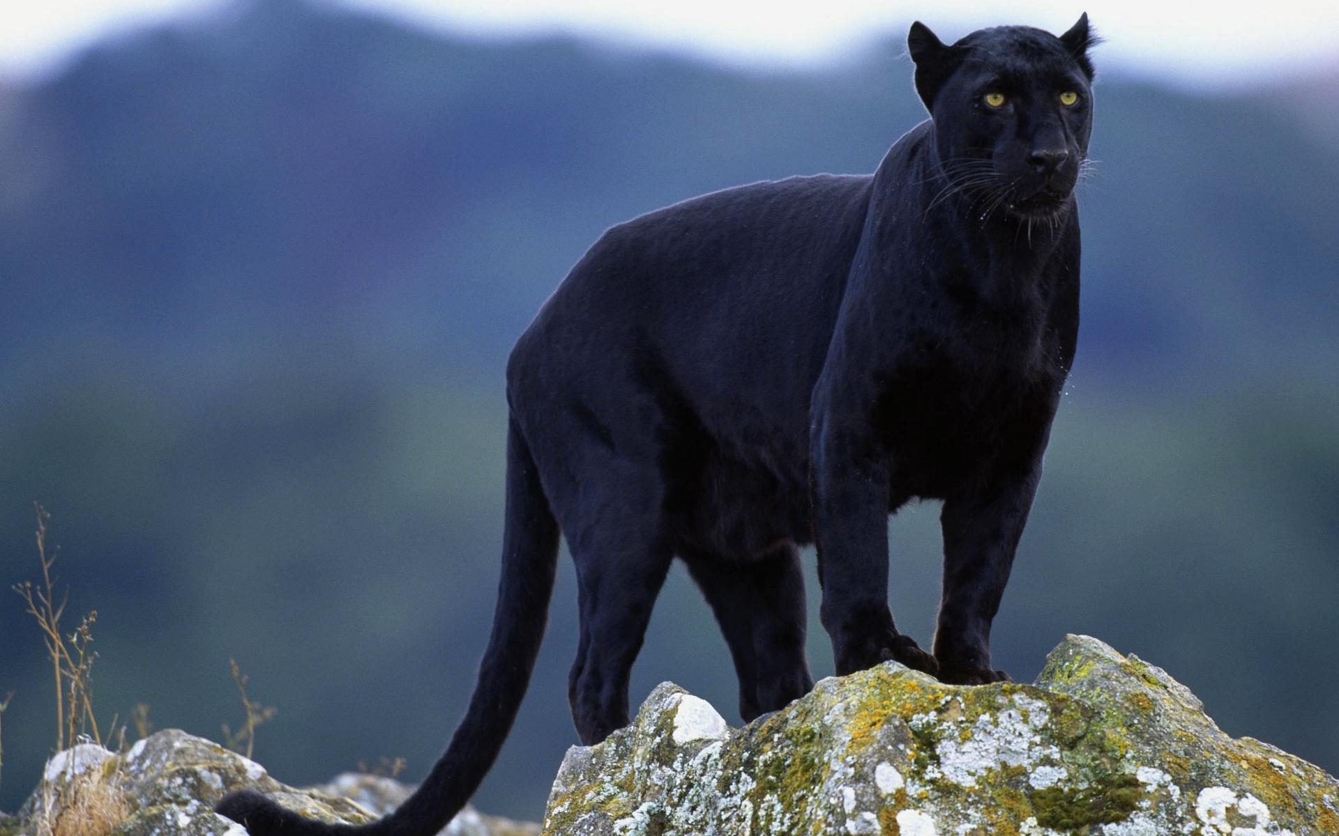 найдем картинки пантер ягуаров пум когда года