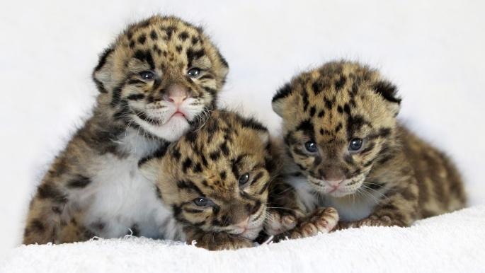 Леопарды 2 (56 обоев)