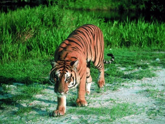 Тигры 8 (66 обоев)