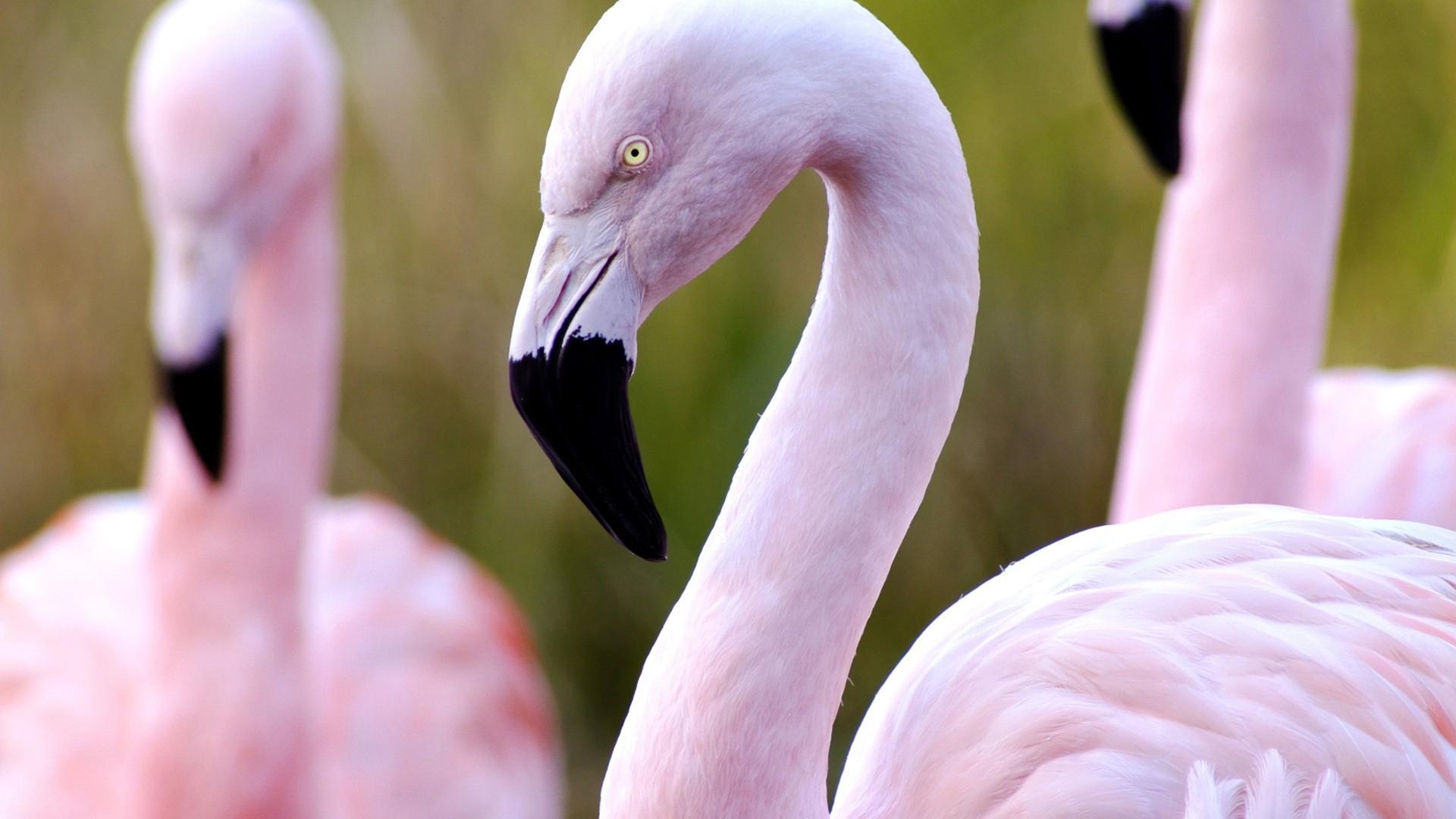 Розовый фламинго производил транссексуал 19 фотография