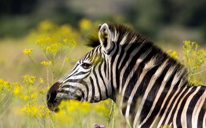 Зебры (66 обоев)