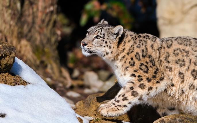 Леопарды 4 (61 обоев)