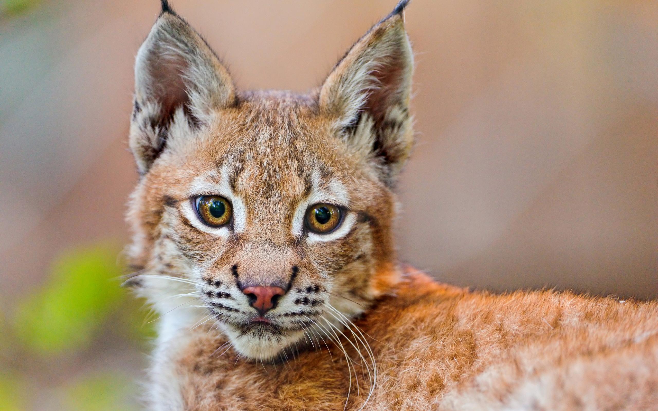 Lynx baby