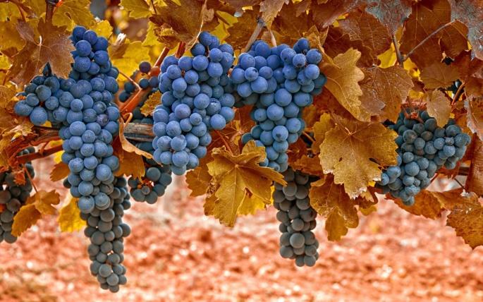 Виноград (65 обоев)