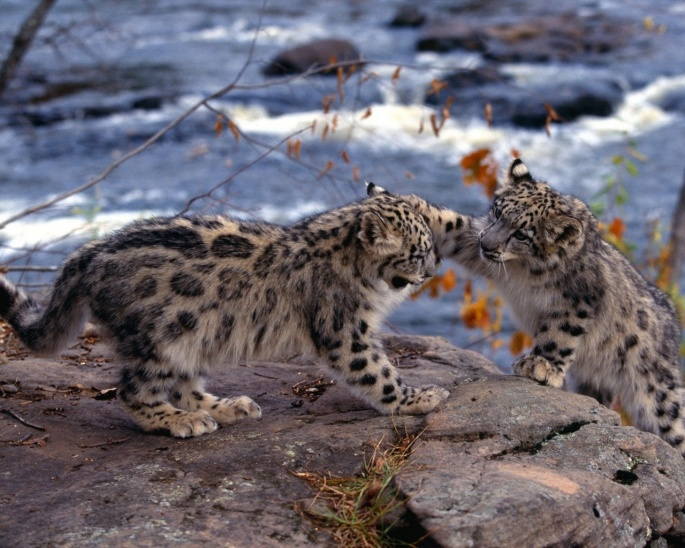 Леопарды 3 (57 обоев)