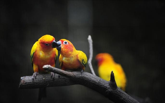 Попугаи (81 обоев)