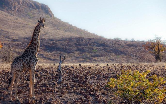 Жирафы 2 (46 обоев)