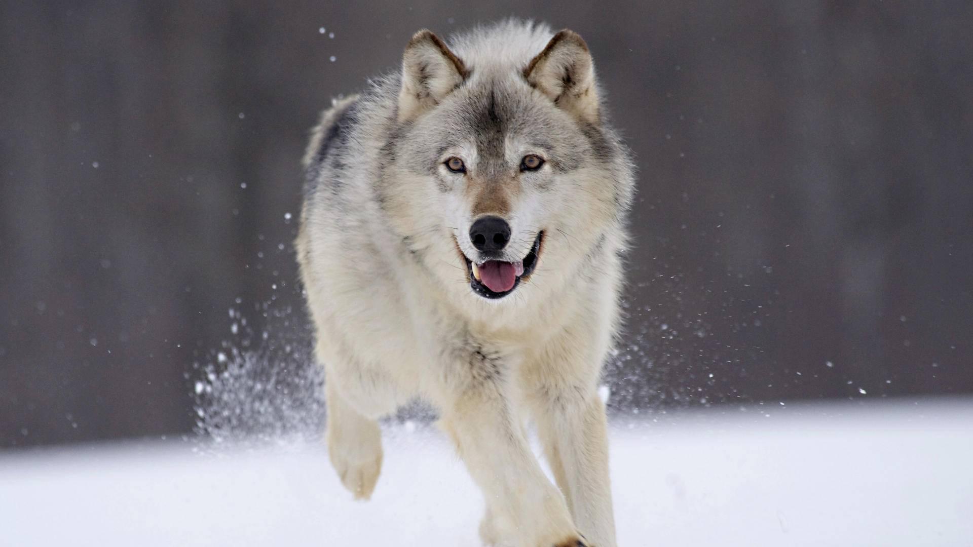 Качественные обои с предпросмотром на тему: волки и лисы.