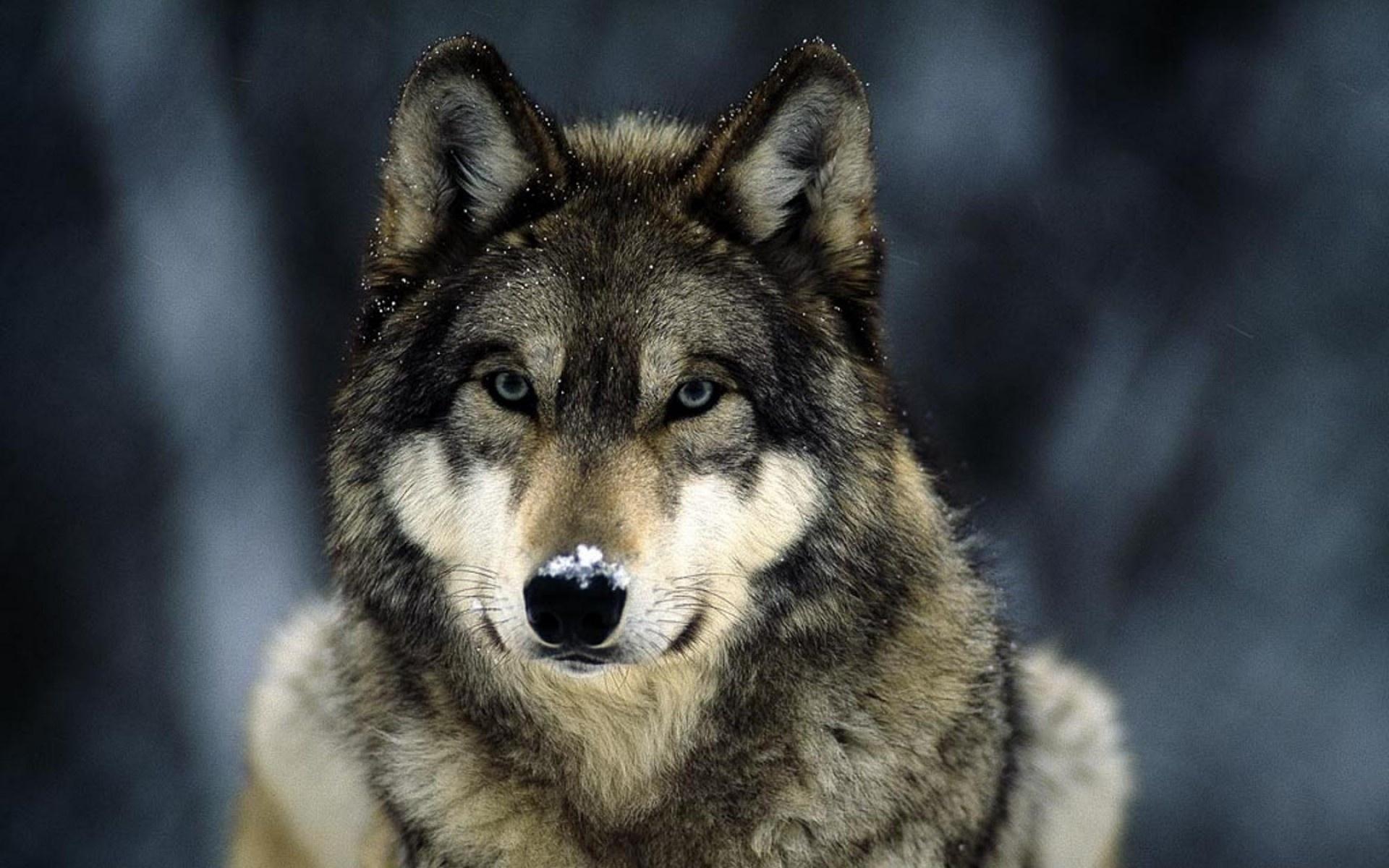 фото красивое волка