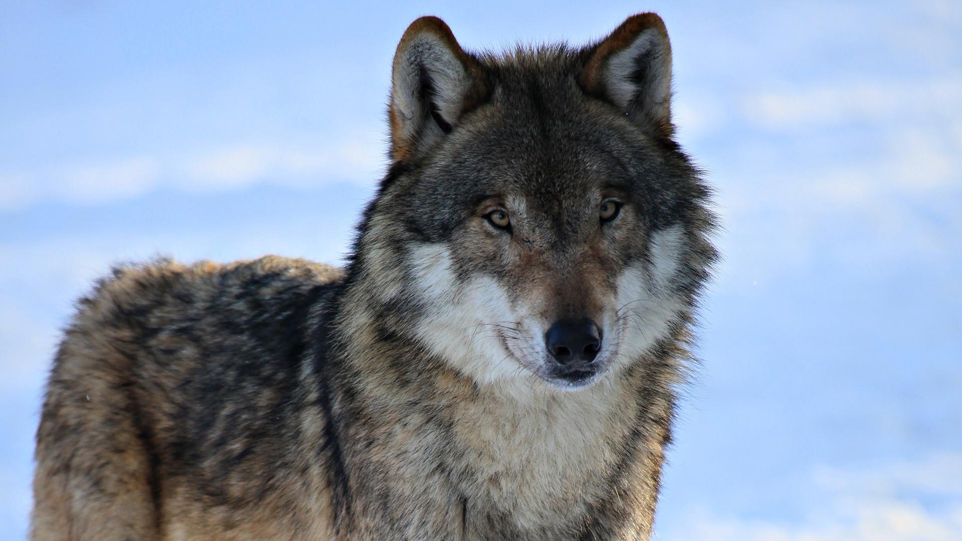 макияже картинки серые волки на обои некоторых