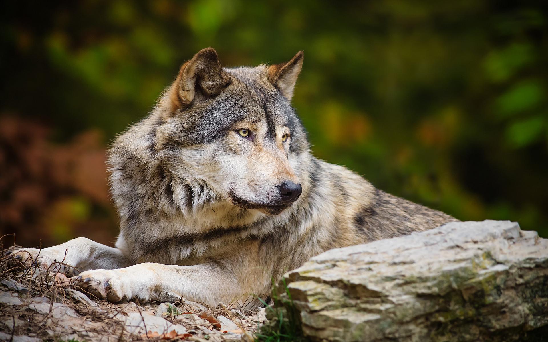 Большие обои на рабочий стол волки