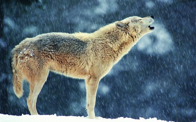 Волки (60 обоев)