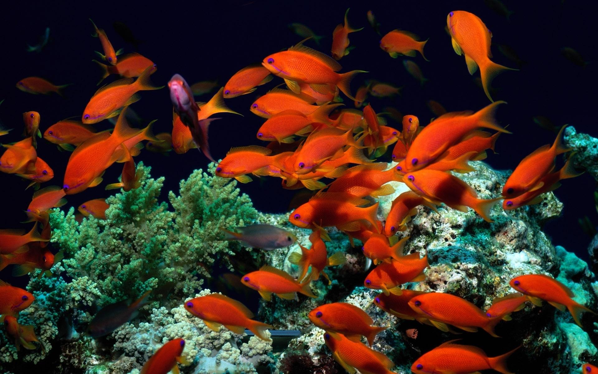 Коралловые рыбки обои на рабочий стол