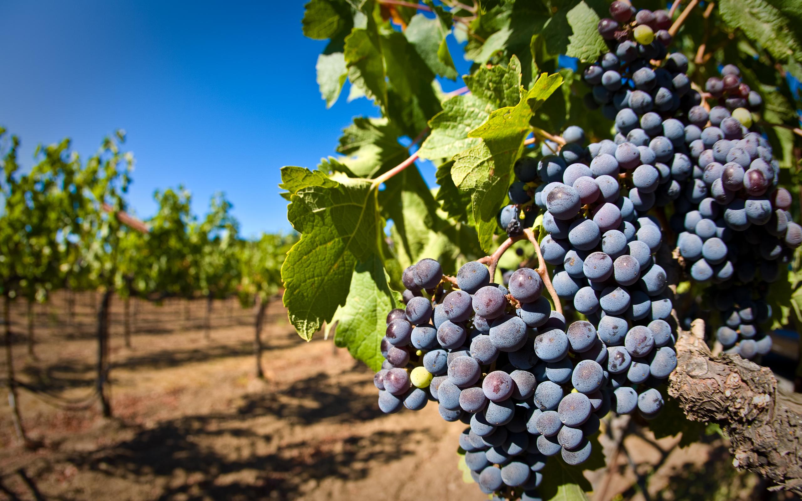 Виноград с чем связано