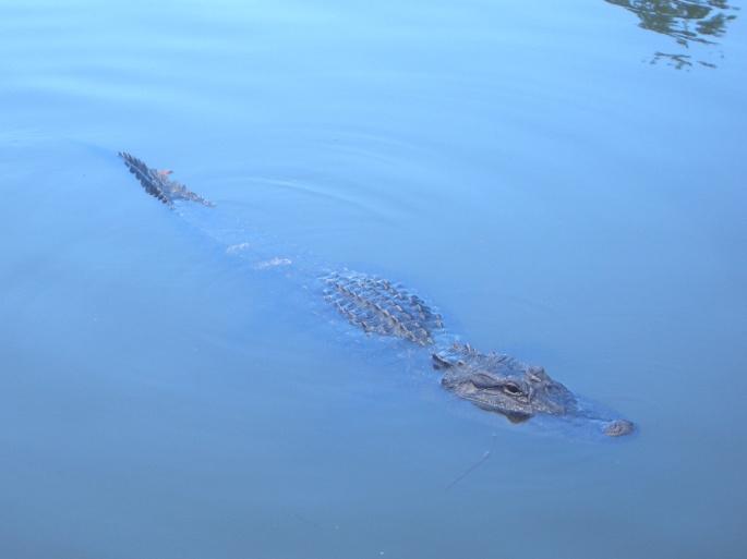 Аллигаторы и крокодилы (71 обоев)