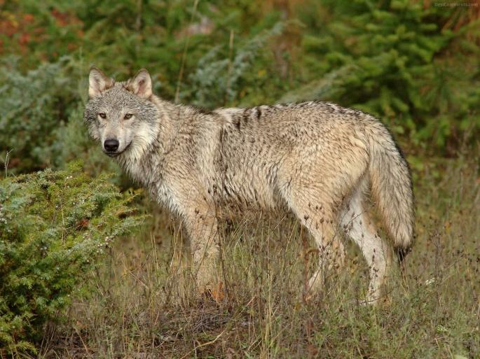 Волки 2 (70 обоев)