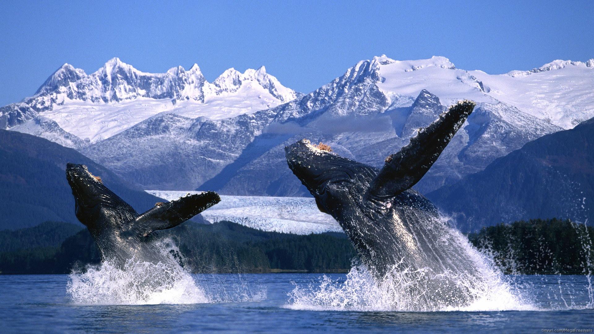 Вэйлвотчинг (whale watching) - наблюдение за прыжками горбатых китов