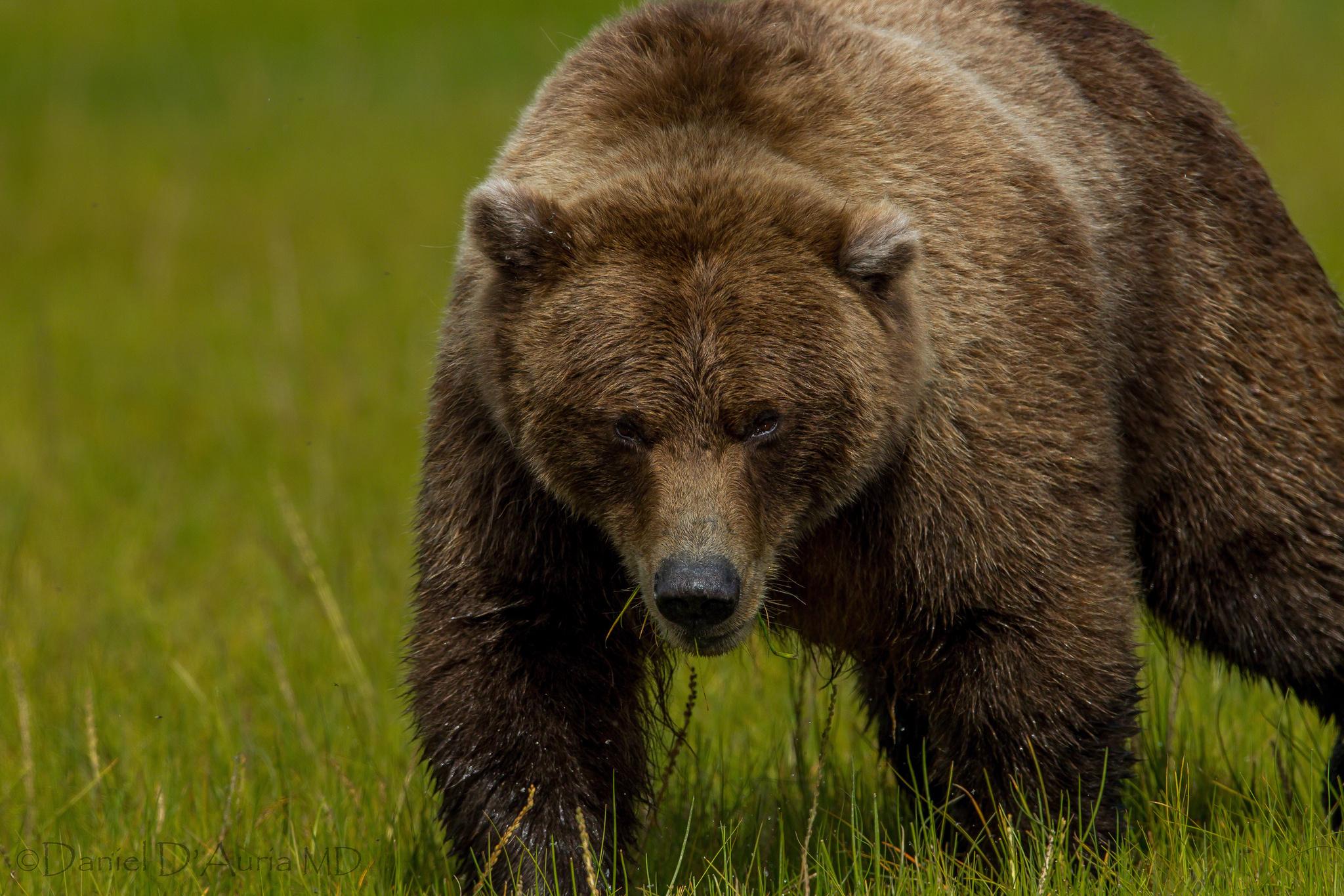 Смотреть картинки бурого медведя