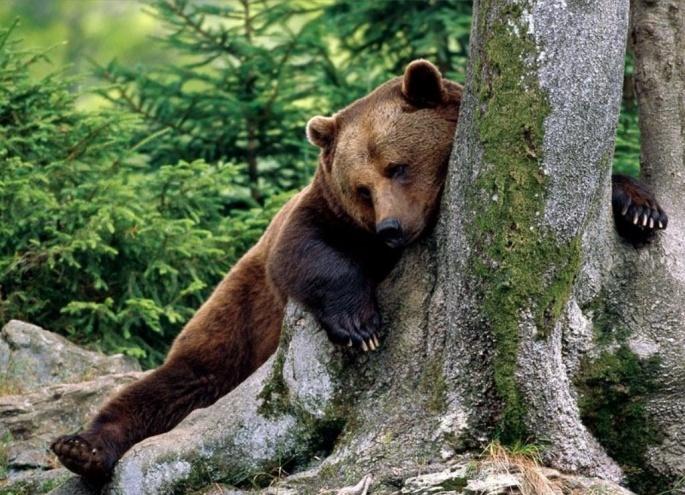 Медведи бурые 2 (50 обоев)