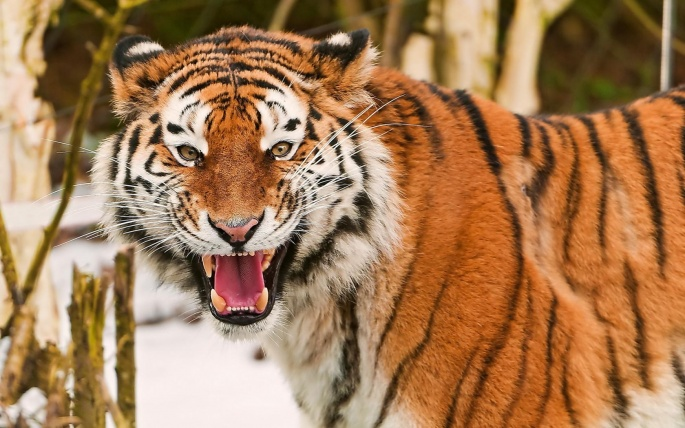 Тигры 7 (66 обоев)