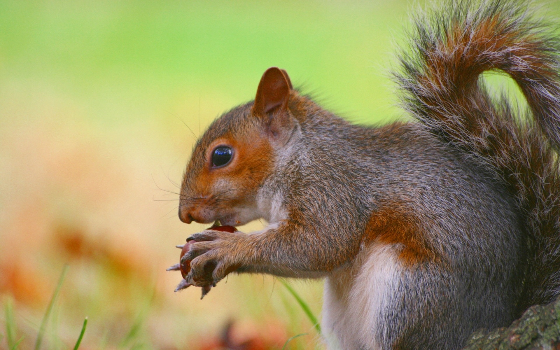 Baby fox squirrel pictures Eastern Gray Squirrel - Animal Kingdom Facts and Pictures